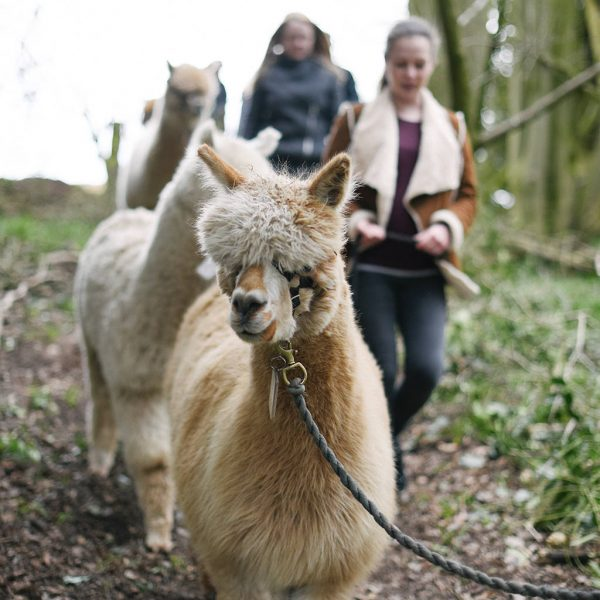 Walk With Alpacas Experience, £35pp, Charnwood Forest Alpacas