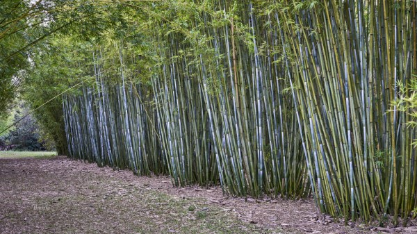 bambusa chungii tropical blue