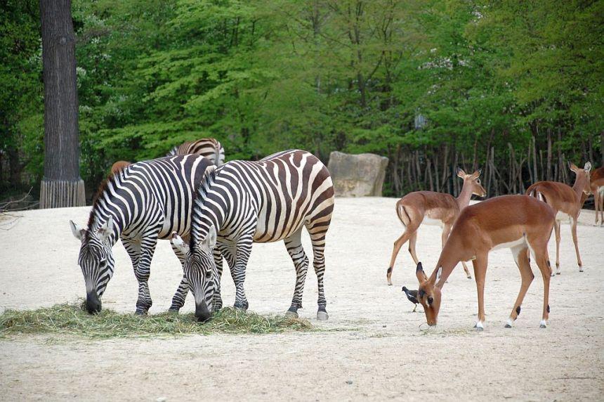 Zebras zum Greifen nahe