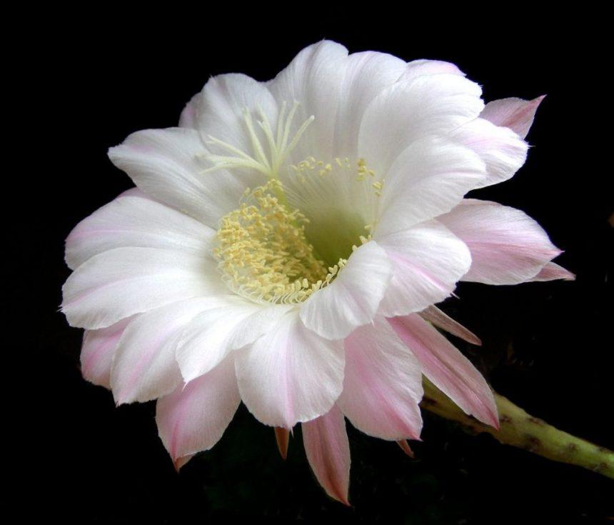 Kaktusblüte: Ist die Fotobearbeitung hier gerechtfertigt?