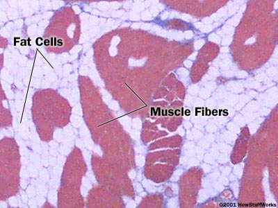 cross section of muscle and fat cells