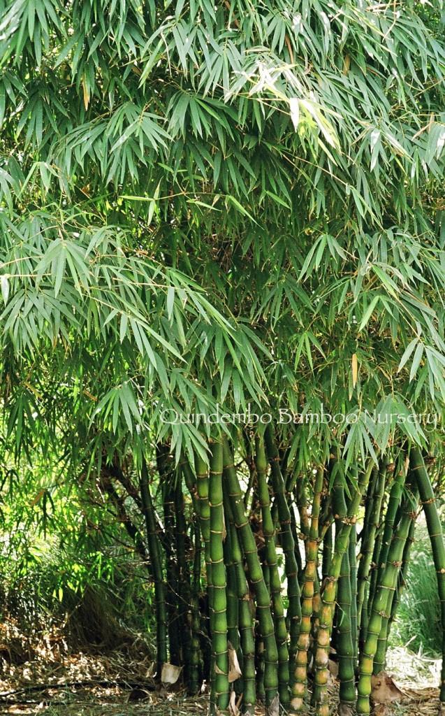 Bambusa wamin  non invasive bamboo