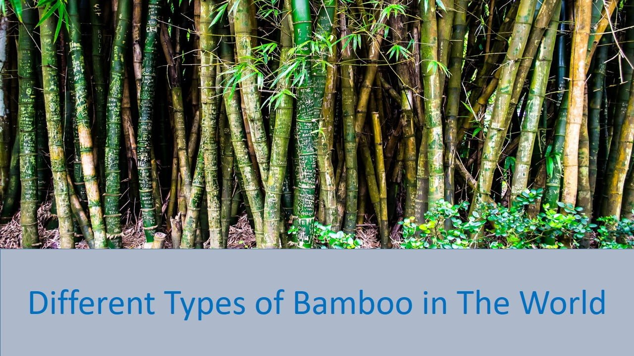 Different Types of Bamboo in the