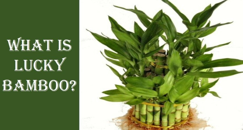 What Is Lucky Bamboo?-Everybody Should Know