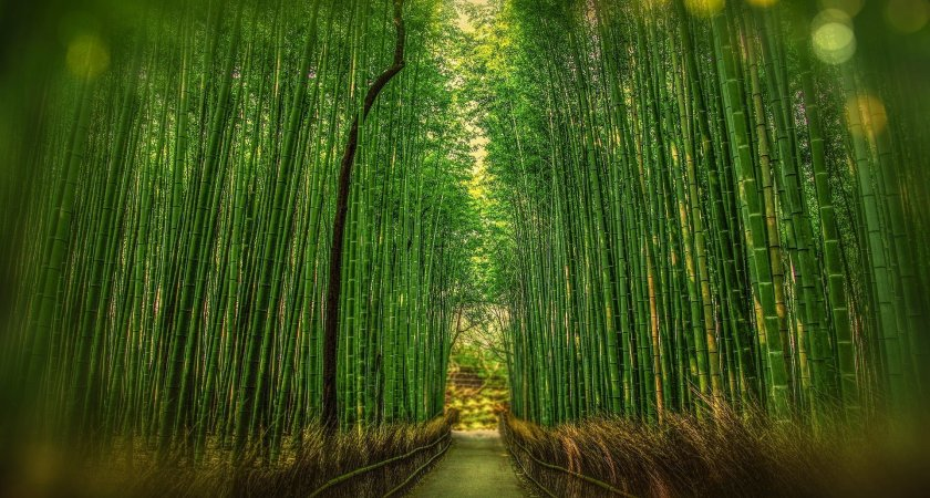 Bamboo Hedge -The Most Amazing Use of Bamboo !