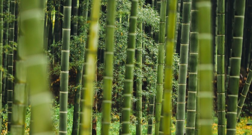 Thinning Bamboo-How to Do ? know details About It