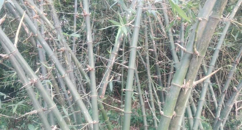 Bamboo Growth Rate-You Should Know