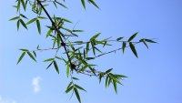 Process of Pruning Bamboo For Better Bamboo Growth.