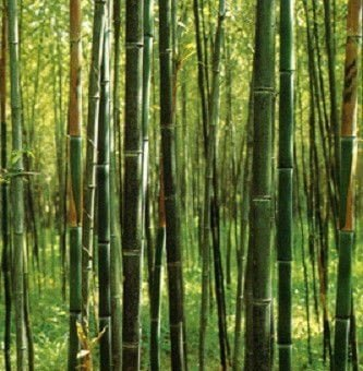 A guide to buying cheap bamboo plants