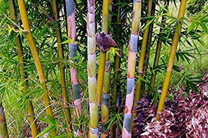The Best Non invasive Bamboo Species For a Privacy Screen