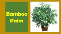 Best Bamboo Palm For your Indoor Decor