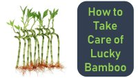 How to Take Care of Lucky Bamboo(Know A to Z)