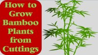 How to grow bamboo plants from cuttings