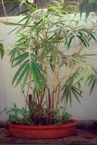 Indoor Bamboo Bamboo Sourcery Nursery Gardens