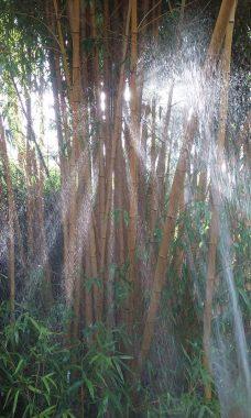 Watering Bamboo - Bamboo Sourcery Nursery & Gardens