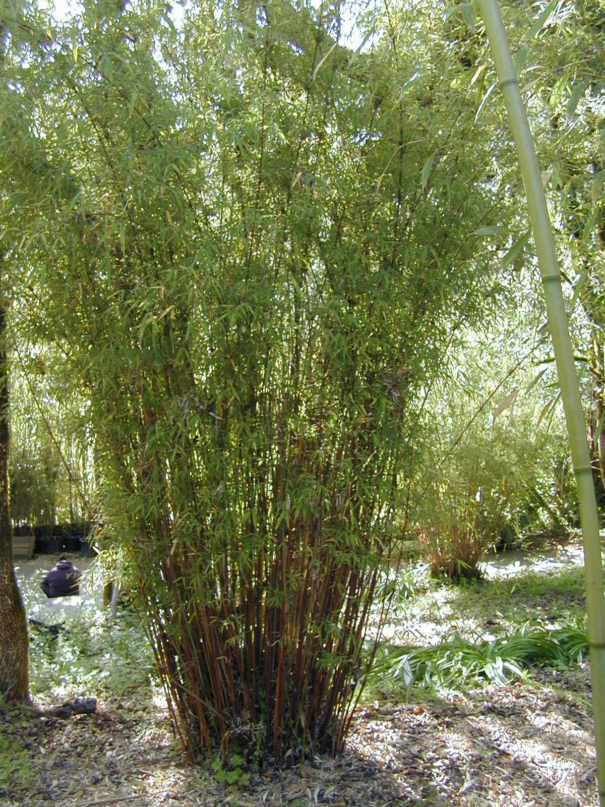 Himalayacalamus planatus (formerly Himalayacalamus asper)