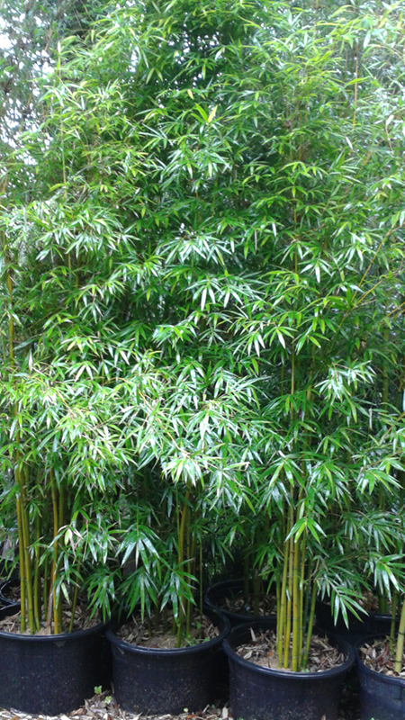 Non Invasive Bamboo Screening Plants