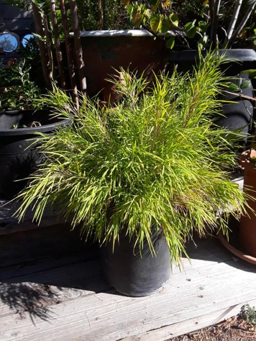 bamboo, chica, otatea, bamboo plant, dwarf
