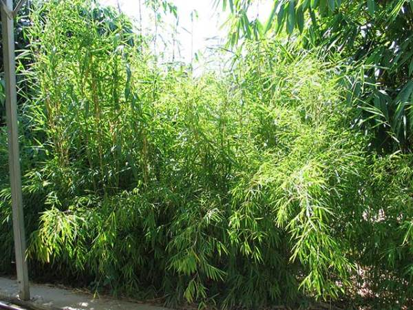 nepalese blue bamboo plants perth