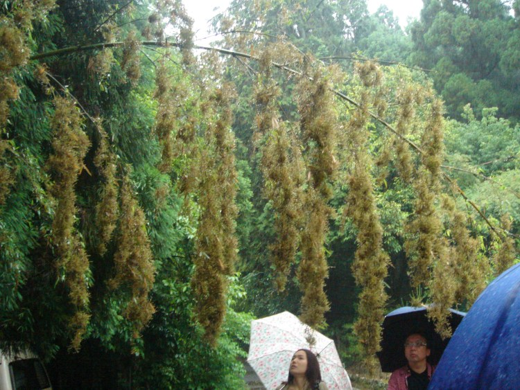 Bambou en fleur