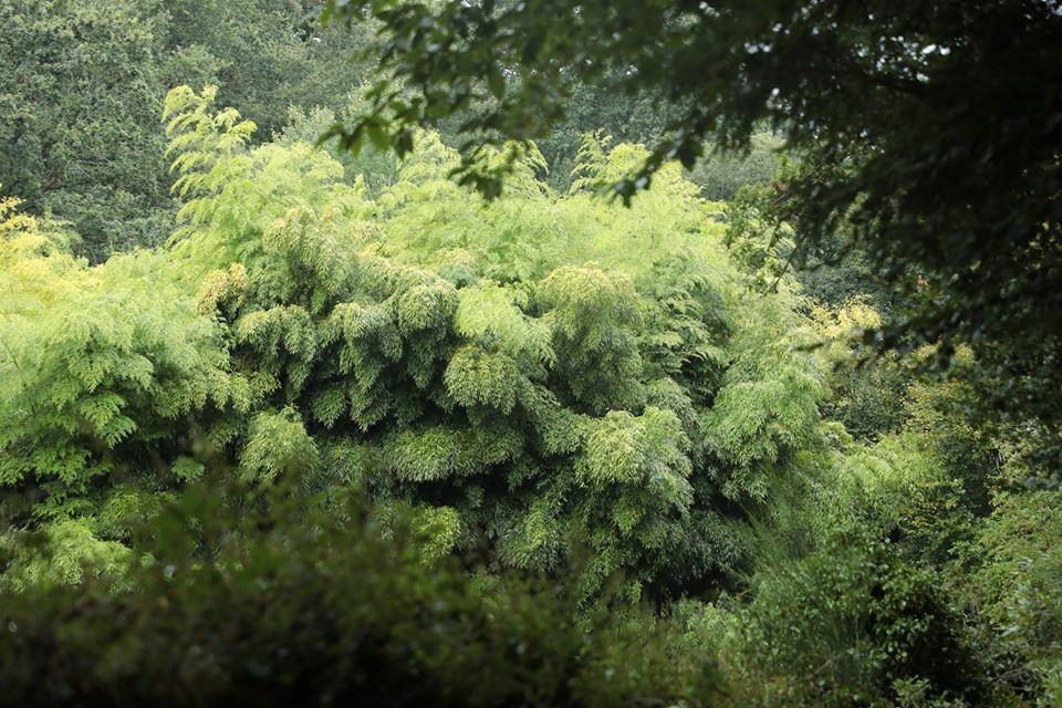 Bambou géant Moso en France (Bretagne)