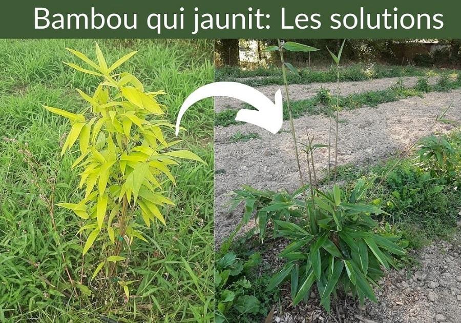 Bambou qui jaunit