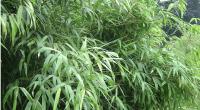 Planter bambou Fargesia non traçant: Top 3 !
