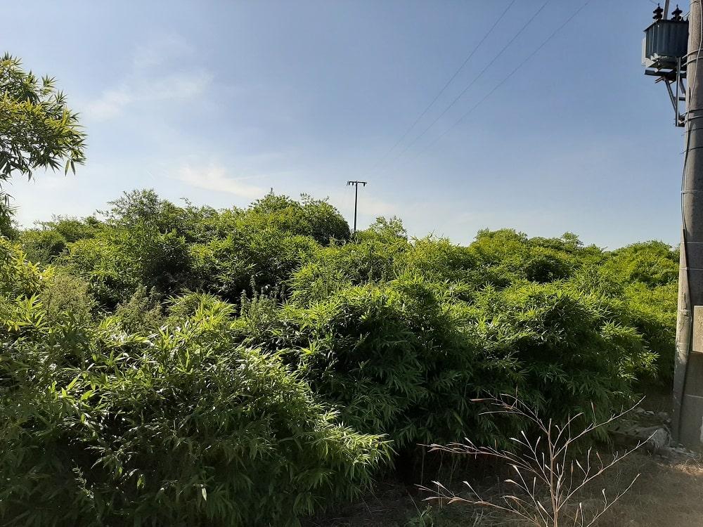 Bambou géant Moso 66 mois