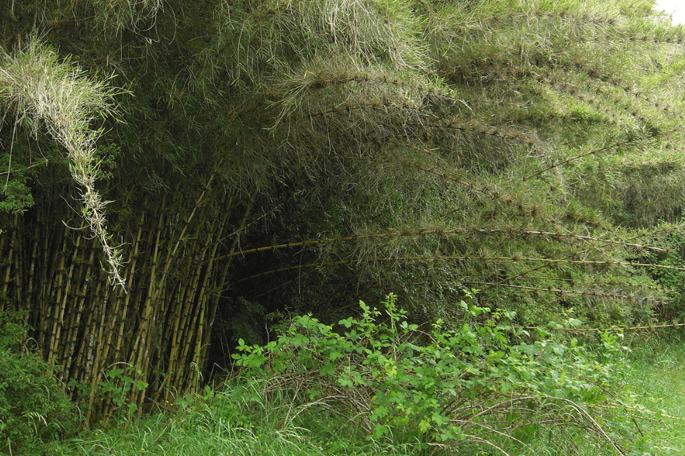 Chusquea culeou (Jason Hollinger, CC - BY - CA 2.0)