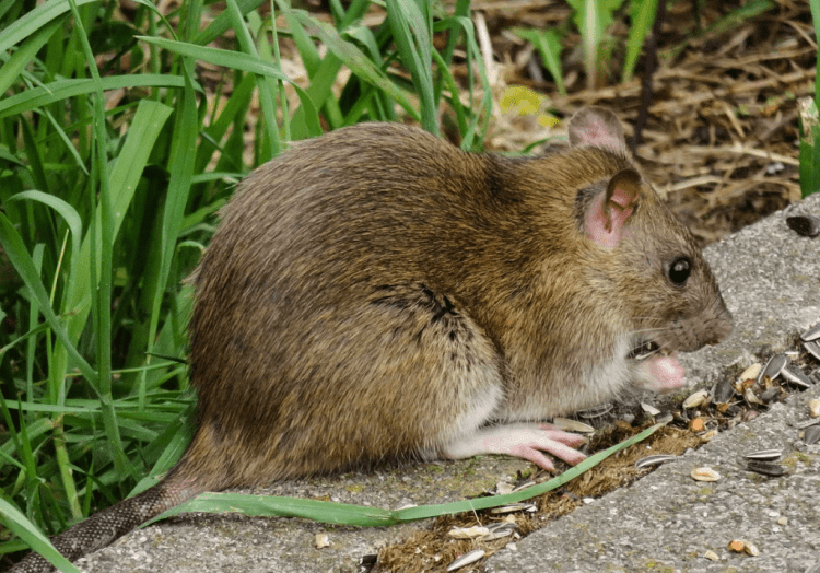 Rat en train de se nourrir de graines