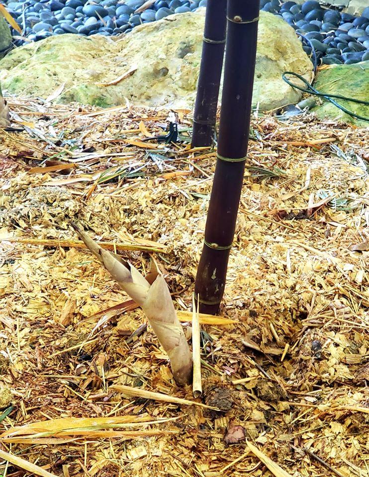 Bambou noir (Photo: Lauren Taylor-Mike Atkinson)