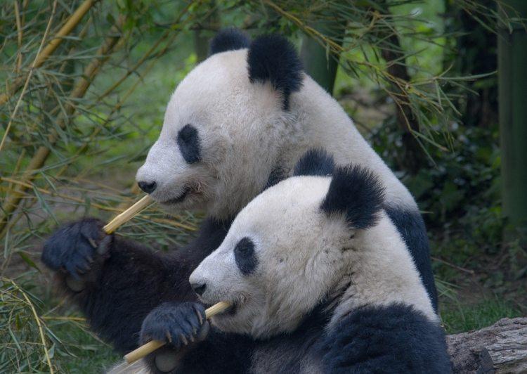 Pandas qui mangent des bambous