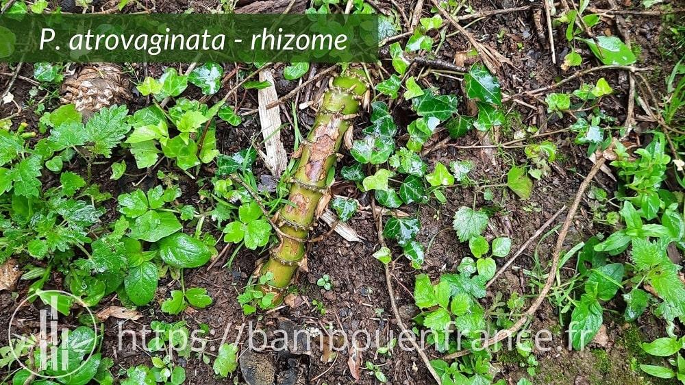 Rhizome de bambou Phyllostachys atrovaginata