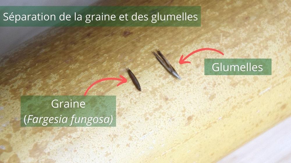 Graines de bambou Fargesia fungosa