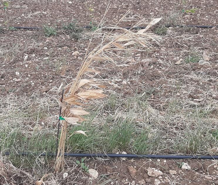 Bambou mort (Phyllostachys edulis)