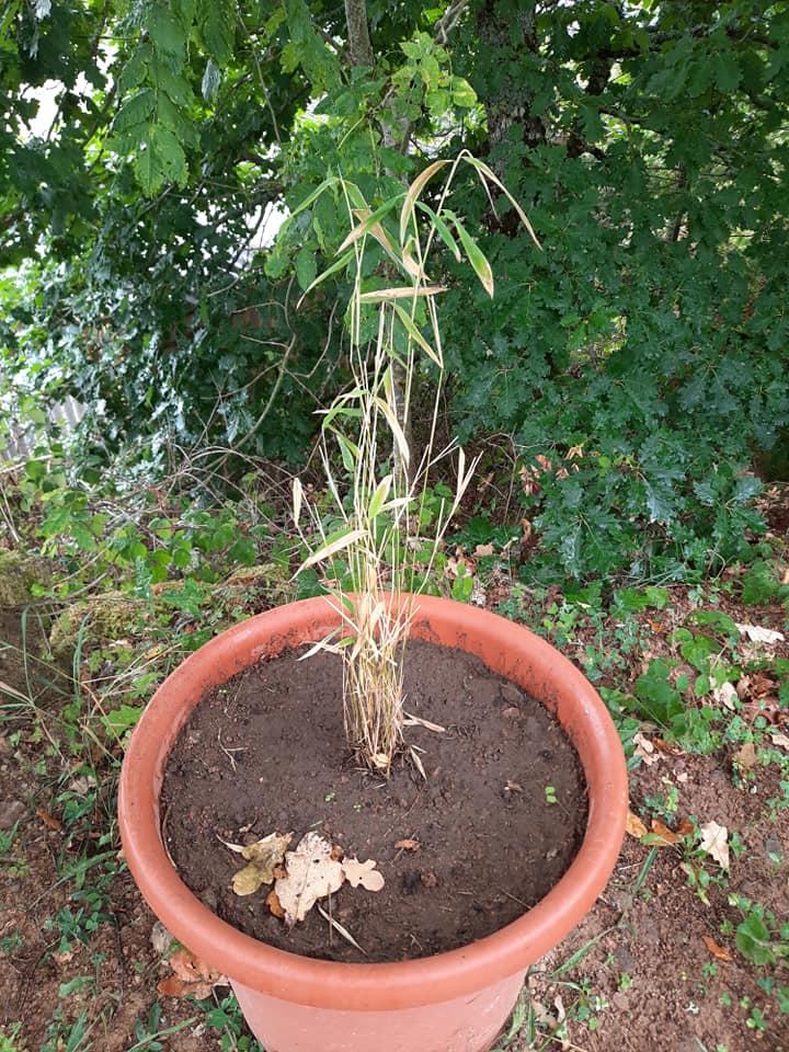 Bambou qui souffre d'une terre asphyxiante