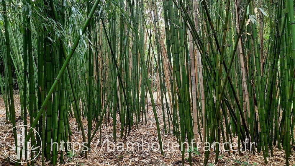 Phyllostachys vivax huangwenzhu (Vallée des bambous)
