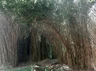 Le Bambou Japonais Pseudosasa japonica: Guide Complet
