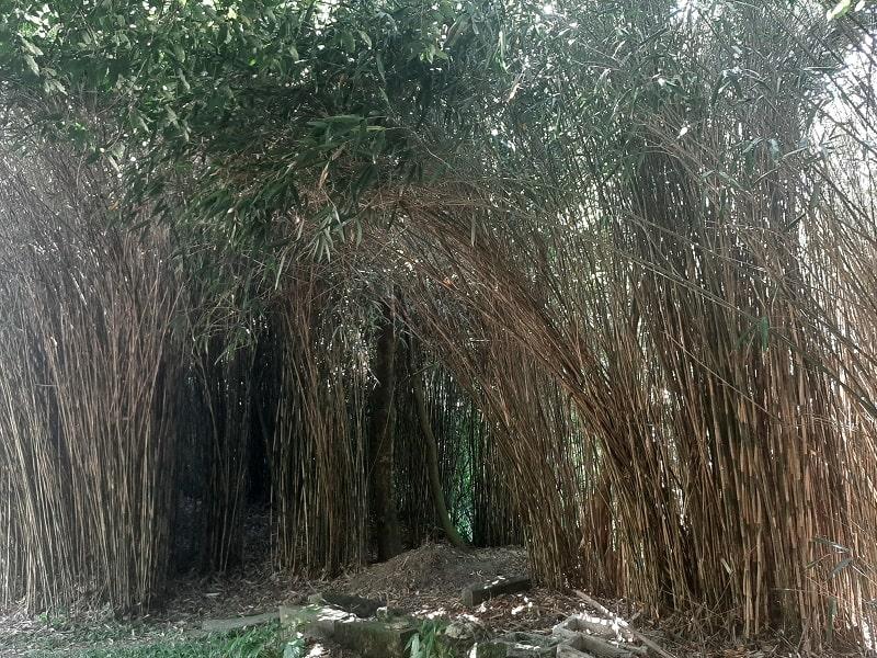 Le bambou japonais Pseudosasa japonica