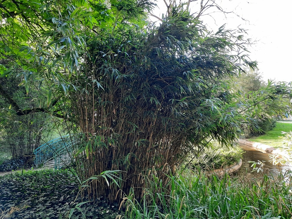 Bambou japonais Pseudosasa japonica