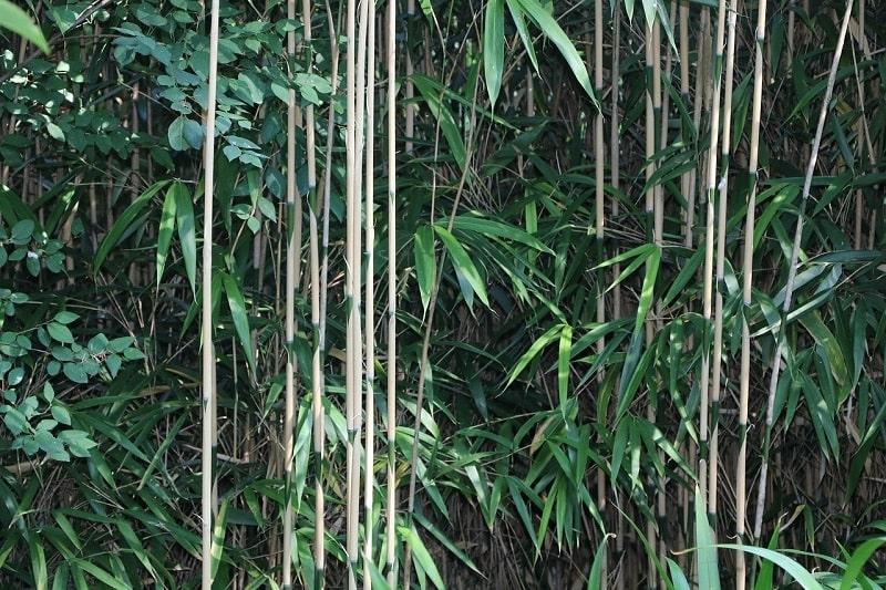 Les chaumes longs et fins caractéristiques du bambou japonais pseudosasa japonica