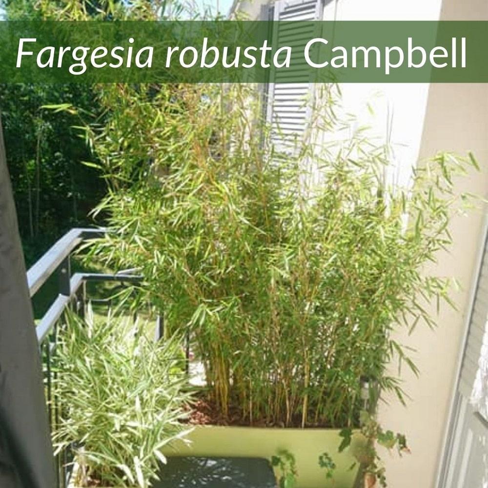 Fargesia robusta campbell bambou en pot