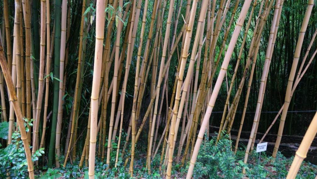 Forêt de bambous Glengarriff