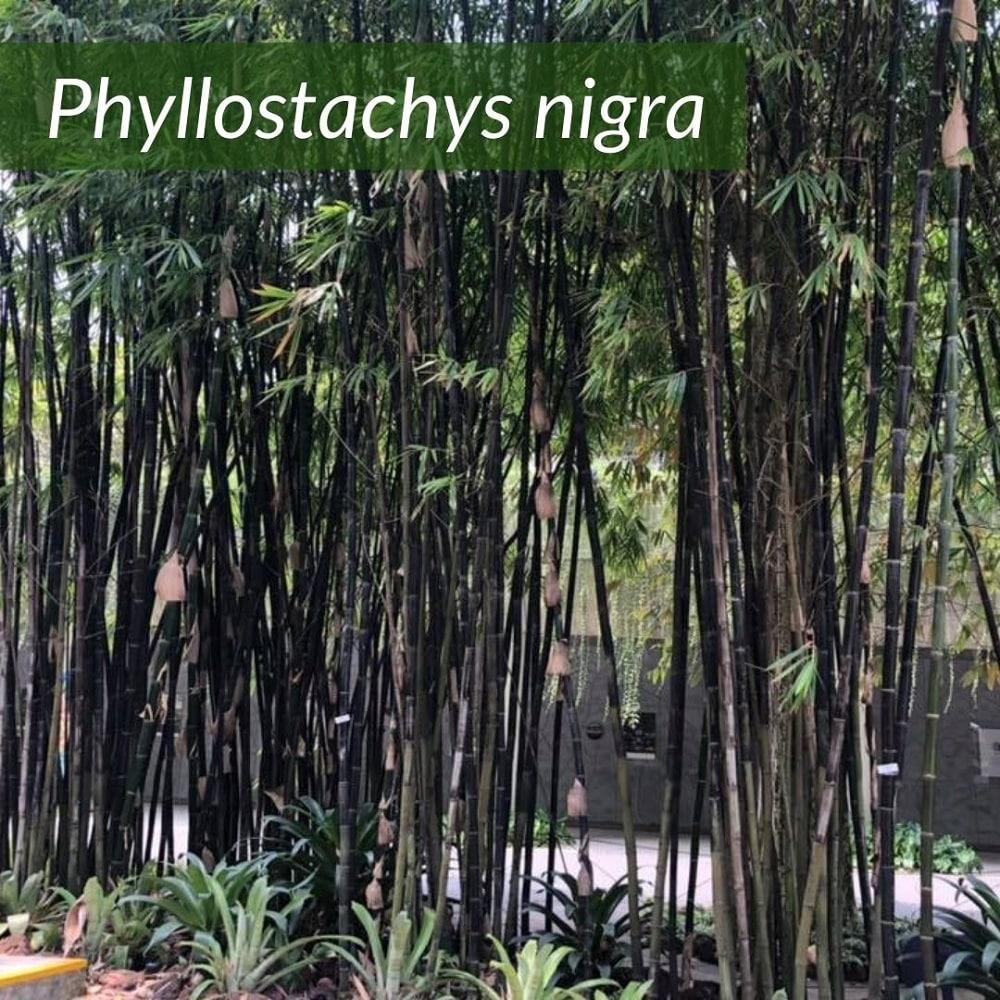 Phyllostachys nigra