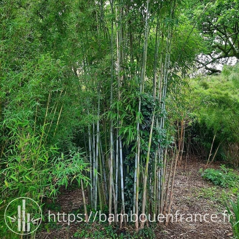 Bambou Bleu Borinda papyrifera