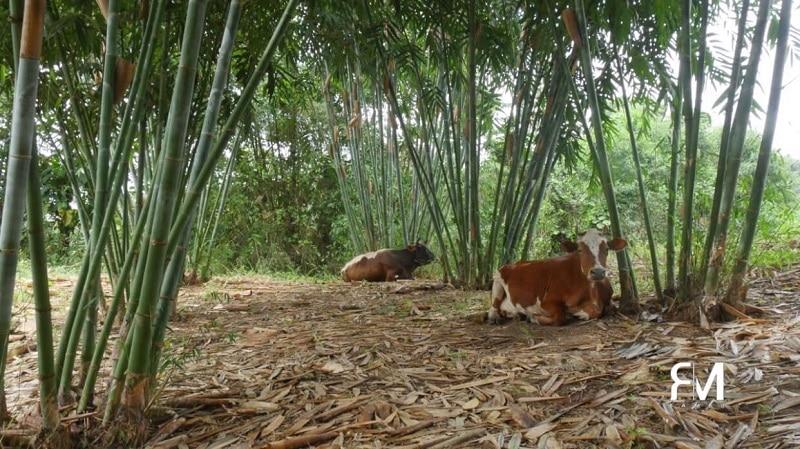 vaches bambou