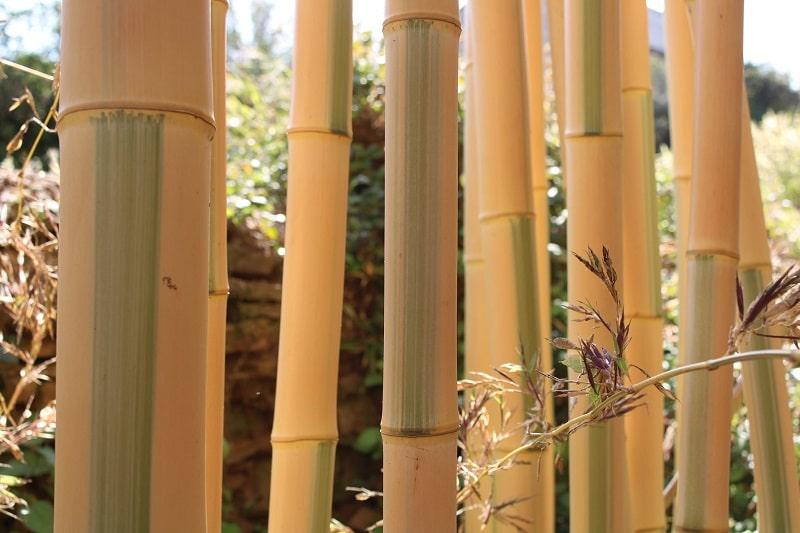 Bambou jaune Phyllostachys bambusoides 'Castillonis'