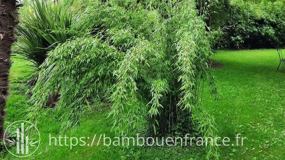 Fargesia denudata bambou