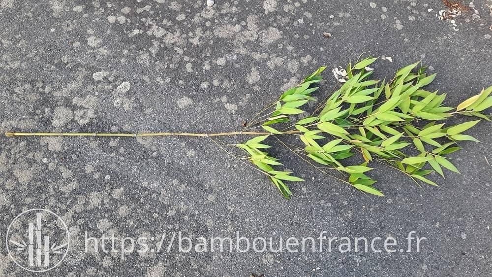 Bambou coupé pour faire des tuteurs