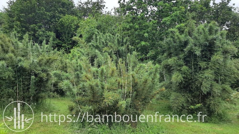 Presque tous les bambous du genre Chusquea ont les chaumes pleins